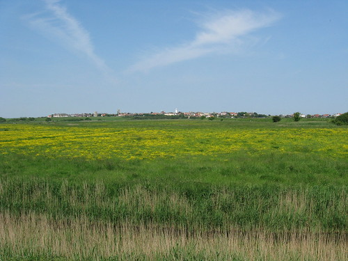 Buttercups Southwold marshes