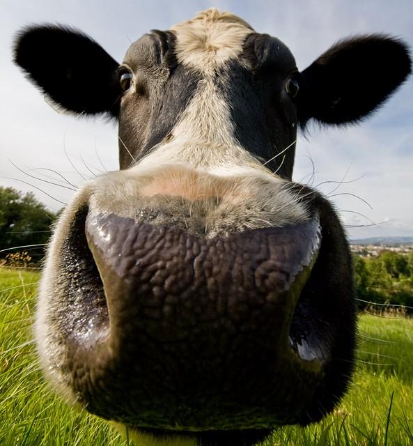 Cow Snout
