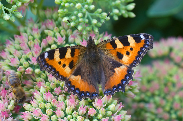 Small Tortoiseshell butterfly on sedum flower * Бабочка-крапивница на цветке седум