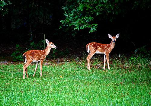 morning yard deer arkansas nikond60
