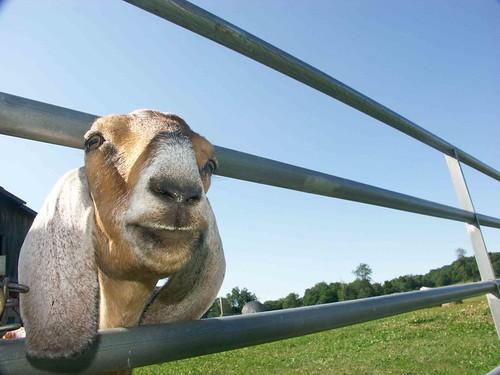 Grass-fed Goat