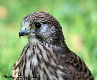 ~The Eyes Of A Falcon~