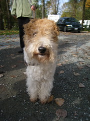 dog breed, animal, dog, pet, glen of imaal terrier, mammal, poodle crossbreed, wire hair fox terrier, welsh terrier, goldendoodle, terrier,