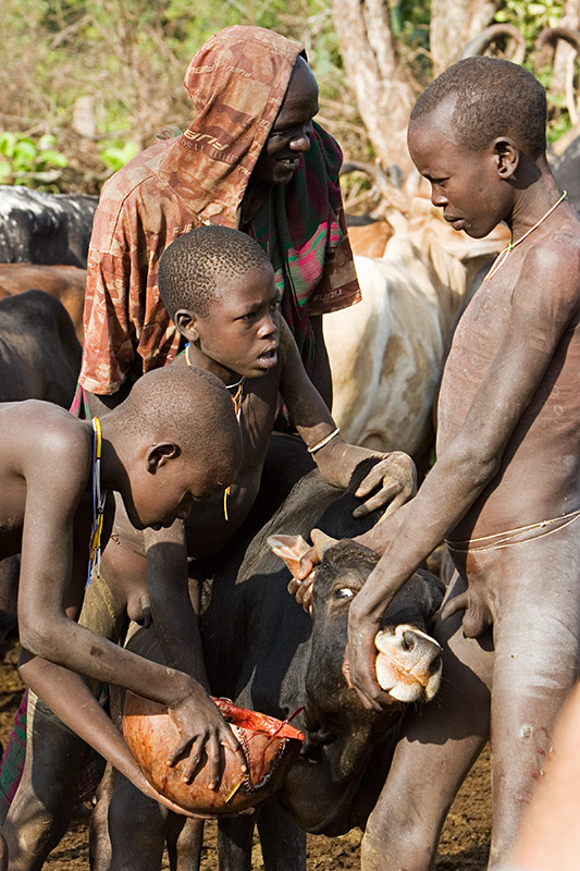 104 - Surma Boys Taking Blood From A Cow - A Photo On -6743
