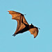 Old World Fruit Bats - Photo (c) Michael Jefferies, some rights reserved (CC BY-NC)