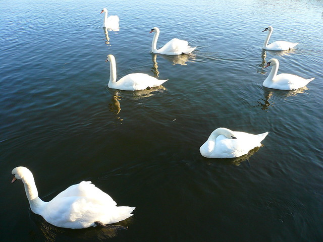 Hampton Court: Seven Swans a-Swimming | Flickr - Photo Sharing!