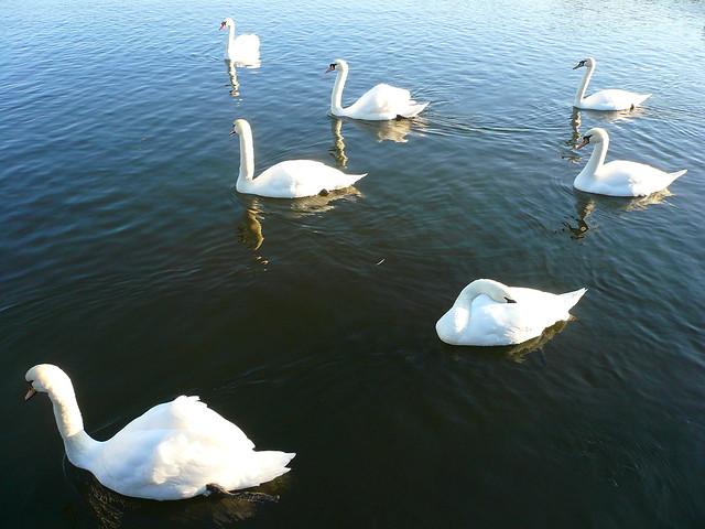 Seven Swans A-Swimming Recipe — Dishmaps