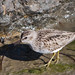 Least Sandpiper - Photo (c) Nick Chill, some rights reserved (CC BY-NC-SA)