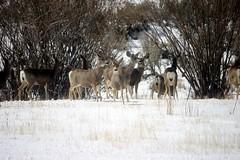 愛達荷州的鹿(Darren Peterson攝)