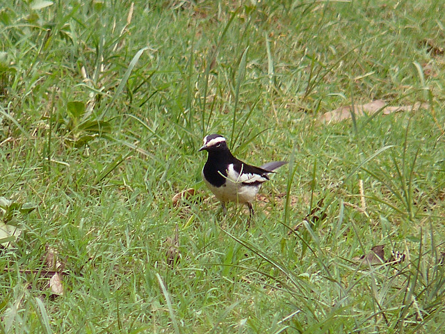 White-browed (Large Pied) Wagtail
