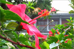 Hibiscus ~ a