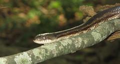 possible Black Rat Snake, Meigs Co, TN