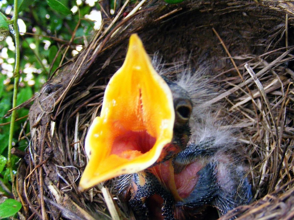Baby Bird 08 (Your photostream 1,226 items / 60,000 views ...