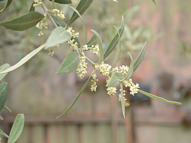 our olive tree in full blossom