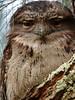 Tawny Frogmouth Podargus strigoides Australian Bird