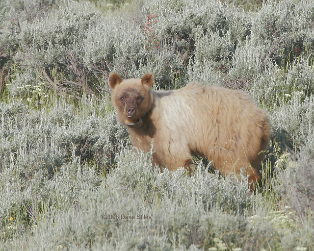 Blonde Black Bear - GTNP | Flickr - Photo Sharing! Grizzly Bear Face Logo