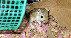 animal, rat, rodent, pet, mouse, hamster, fauna, degu, whiskers,