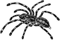 wolf spider(0.0), arthropod(1.0), animal(1.0), spider(1.0), invertebrate(1.0), european garden spider(1.0), tarantula(1.0), black-and-white(1.0),