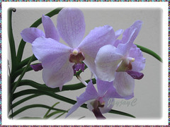 Our Purple Vanda Orchids in a hanging pot at our frontyard, Sept 12 2008