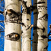 birches and allies - Photo (c) Charles Tilford, some rights reserved (CC BY-NC-SA)