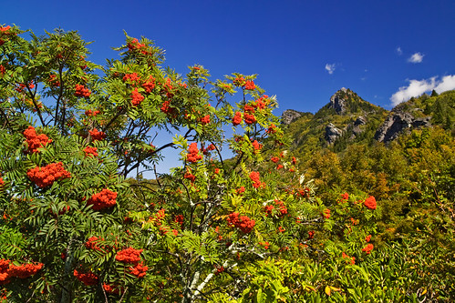 Mountain Ash in Full Glory for diskdoc