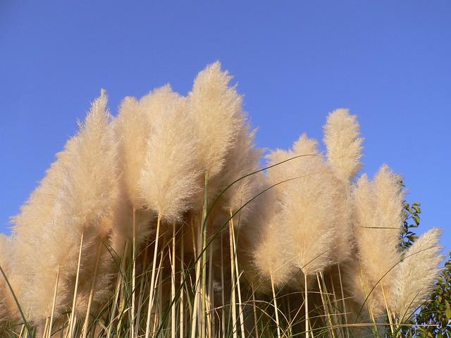Cespuglio piumoso di erba della pampas a photo on flickriver for Erba della pampas riproduzione