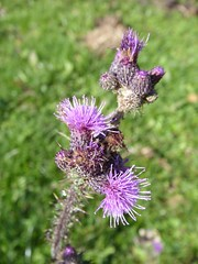 flower, thistle, plant, macro photography, herb, wildflower, flora, silybum, meadow,
