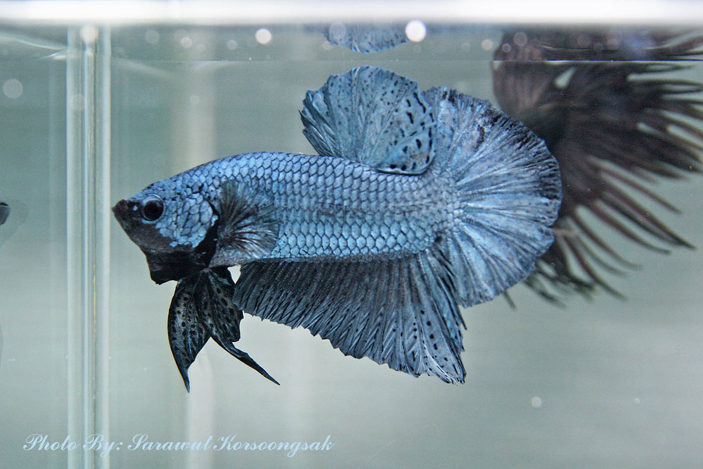 Steel blue hmpk 2nd prize dark metallic singapore betta for Show betta fish