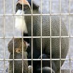 De Brazza's Monkey - 14