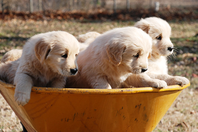 Funny Cute Puppies Golden Retriever Cuddly Cutelings