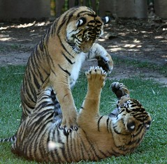 Tiger Cubs at Play