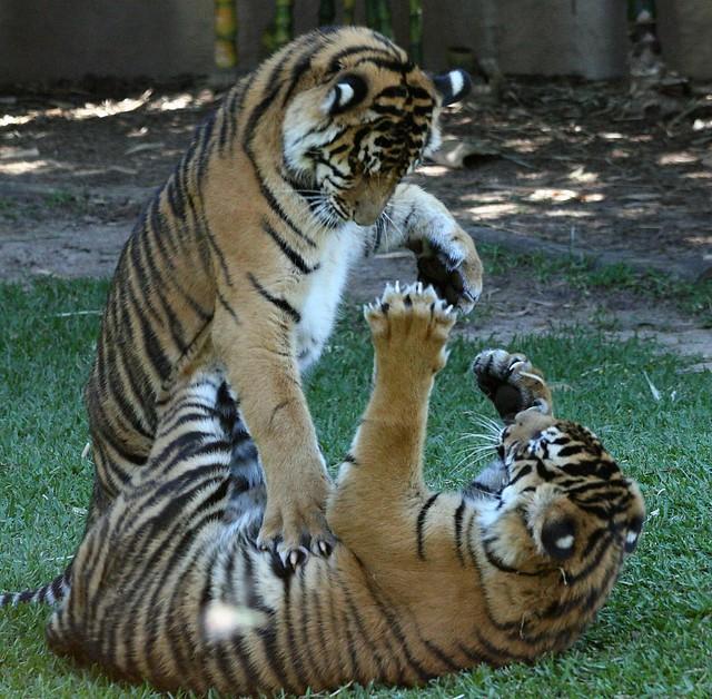 Play Tiger
