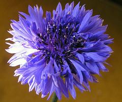 Centaurea Fiordaliso....Cornflower...fleur de lis....Kornblume....azulejo