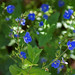 speedwell - Photo (c) Randi Hausken, some rights reserved (CC BY-NC)