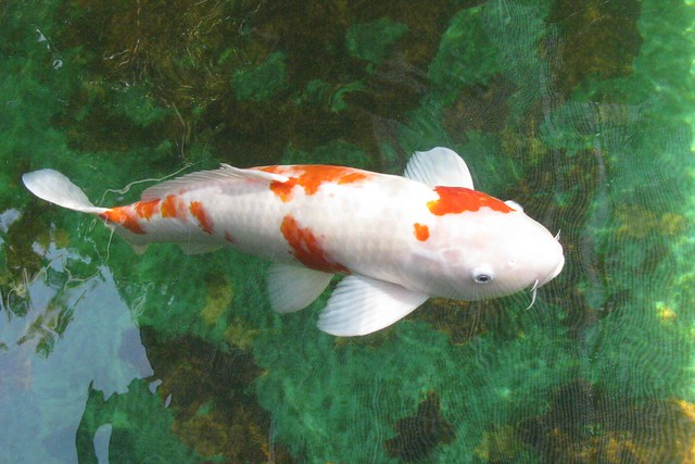 Koi Carp A Gallery On Flickr