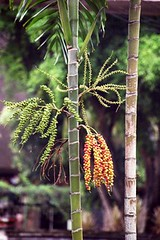 Taman Mini - Fruiting Palm