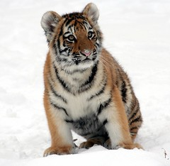 Panthera_tigris_altaica_23_-_Buffalo_Zoo