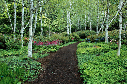 tree garden trail wa bainbridgeisland himalayanbirch untiedstatesofamerica