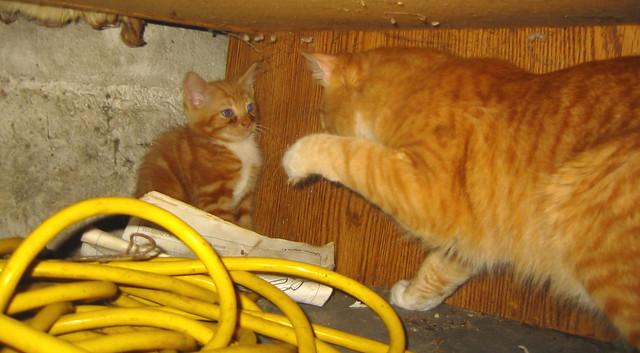 Cat Swatting At New Kitten