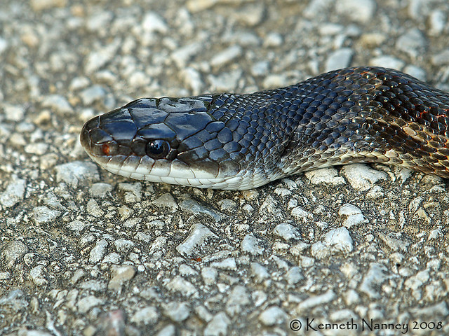 Rat snake 7 flickr photo sharing Garden snakes in texas