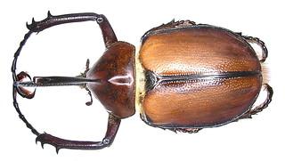 Golofa aegon (Drury, 1773) male