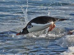Gentoo Penguin diving into the sea 0R7E4332