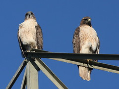 Red-tailed Hawks-IMG_5737-Sunnyvale WPCP-crop