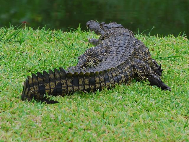 Crocodile On Zambezi River | Flickr - Photo Sharing!