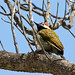 Black-necked Woodpecker (Mike and Karen Galtry)