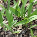 May 2, 2007 - 11:01am - Wild Leeks (Ramps) in the bush