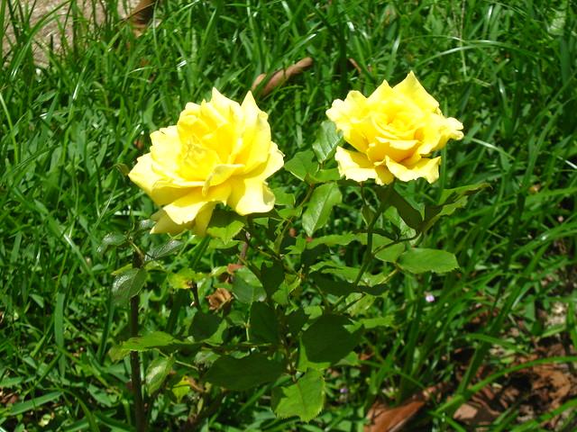 jardim rosas amarelas : jardim rosas amarelas:Rosas Amarelas – Jardim Botânico – RJ