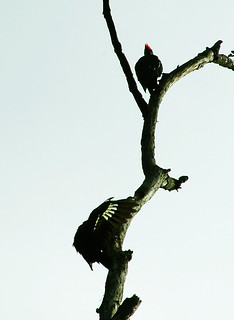 pileated woodpeckers on a dead tree
