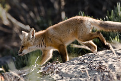 animal(1.0), mammal(1.0), jackal(1.0), grey fox(1.0), fauna(1.0), red fox(1.0), kit fox(1.0), wildlife(1.0),