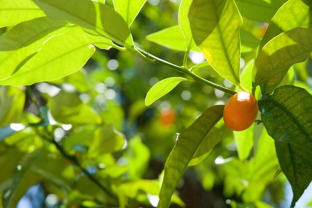 Photo: Kumquat